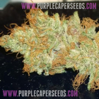 Fire Lady x Purple Caper