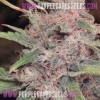 Purple-Caper