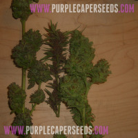 Purple-Caper,-Fire-Lady,-Rocket-Science-XL